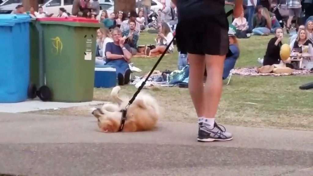 【動画】散歩が終わるのが嫌で死んだフリする犬 最終的に飼い主が勝ち周りから拍手喝采!   ゴゴ通信