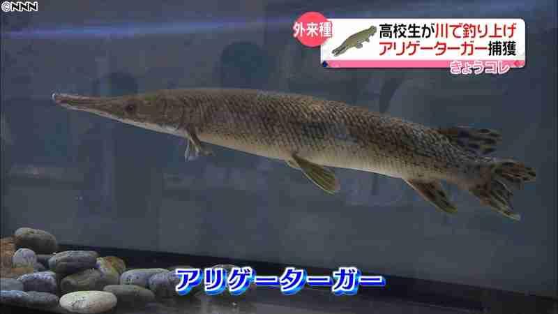 高知の川にアリゲーターガー 高校生が釣る|日テレNEWS24
