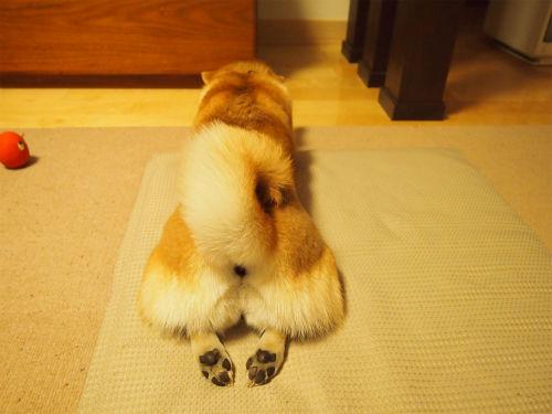 画像 : 【シバケツ】ハムケツに対抗して柴犬・豆柴のお尻特集♪【画像まとめ】 - NAVER まとめ