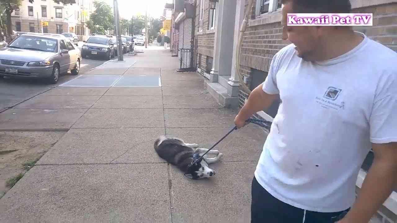 「絶対笑う」お散歩から帰りたくない犬・超かわいい・最高におもしろ犬 - YouTube