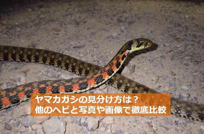 毒ヘビ「ヤマカガシ」の漫画がTwitter上で話題に!リュックに入れた伊丹の男児が噛まれ一時意識不明の重体に…毒蛇の見分け方まとめ | ENDIA[エンディア]