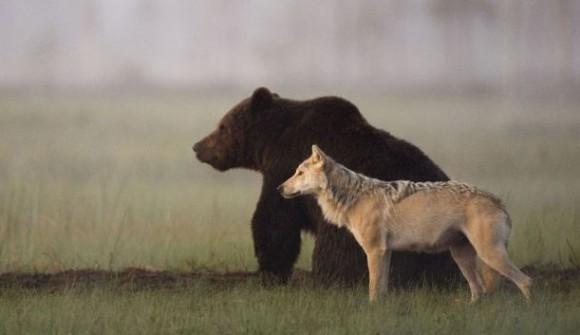 オオカミとクマが最強タッグを組んだ。共に寄り添い餌を分け合って食べるオオカミとクマのカップル : カラパイア