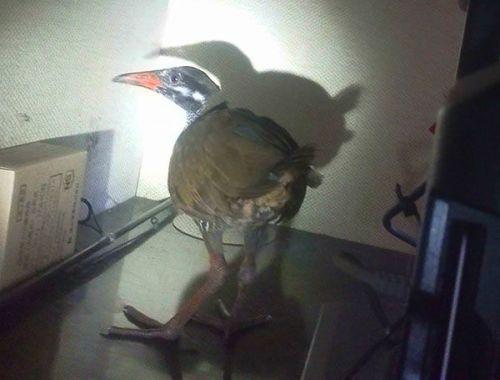 家に突然ヤンバルクイナが… 大宜味 テレビ横切る、幼鳥か - 琉球新報 - 沖縄の新聞、地域のニュース