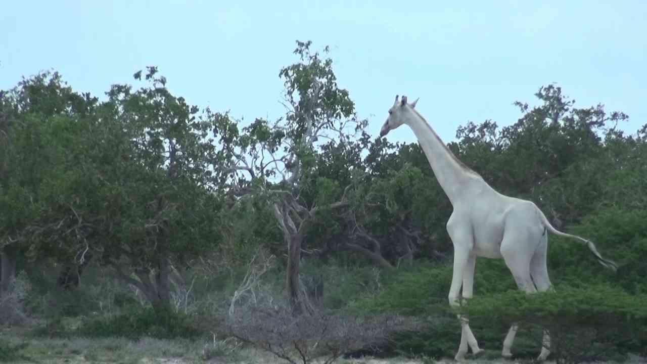 White giraffe - YouTube