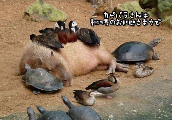 カピバラの包容力は天井知らず。動物界のお釈迦さま的存在のカピバラに集まる動物たち : カラパイア