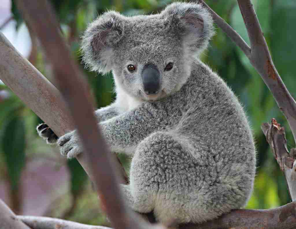 オーストラリアの野生コアラが増えすぎ 再び安楽死させる方針