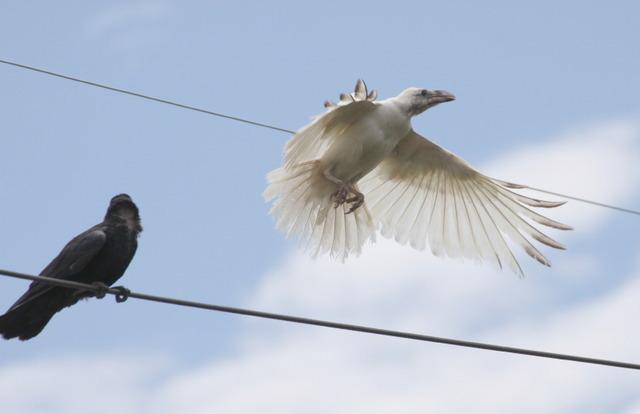 白い翼のカラス、島根で撮影 地元博物館の見立ては…