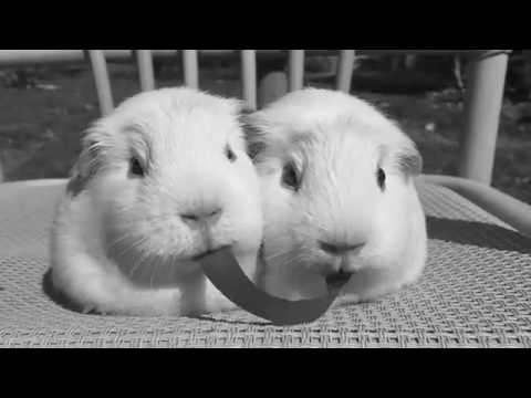 エサの奪い合いに負けてしまったモルモットUC - YouTube