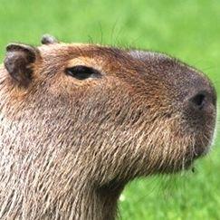 最強の癒し系動物「カピバラ」の意外な生態 - NAVER まとめ