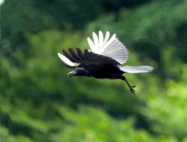 白い翼のカラス、島根で撮影 地元博物館の見立ては… (朝日新聞デジタル) - Yahoo!ニュース