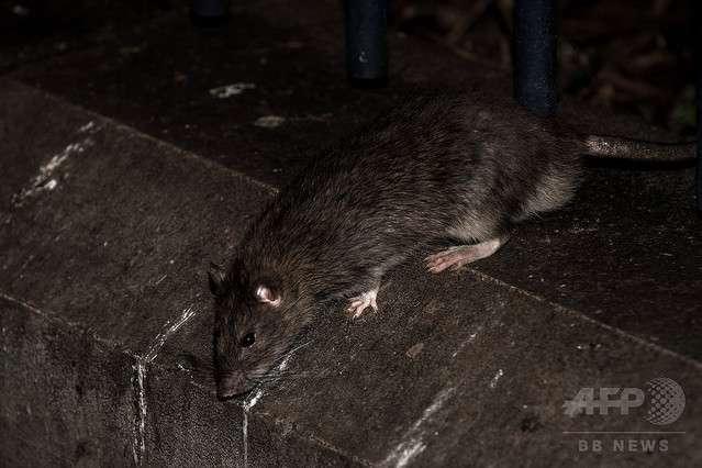 病気のフランス人少女 ベッドでネズミの群れに襲われ顔など225カ所にけが - ライブドアニュース