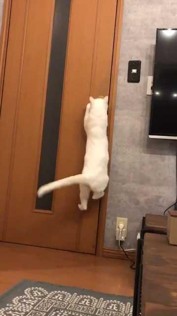 「今すぐドアノブを元に戻すのニャ!」 ドアを開けることに成功した猫ちゃん、対策をされて想像以上の激おこに