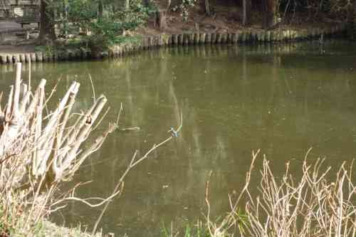 テレ東「池の水全部抜く…」から3か月、キレイになった池にカワセミが生息