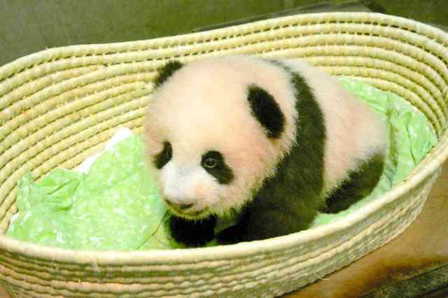 上野の赤ちゃんパンダ、名前は「シャンシャン(香香)」:朝日新聞デジタル