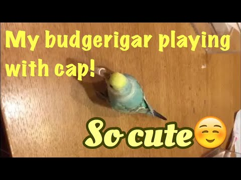 My cute budgerigar playing with cap! / little bird/periquito /perruche ondulée - YouTube
