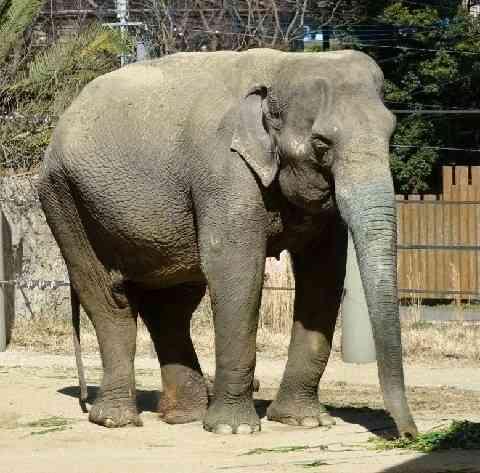 好物のバナナ最期まで… 人気投票1位のゾウ「はな子」天国へ 46歳 福岡市動物園 (西日本新聞) - Yahoo!ニュース