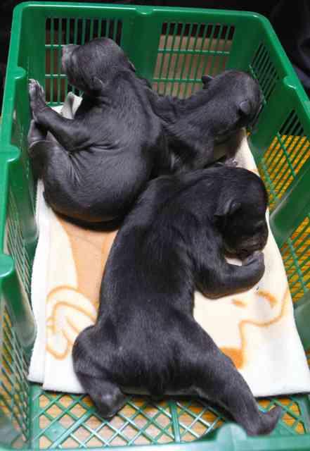 北海道)新冠で保護の子グマ3頭、登別のクマ牧場へ:朝日新聞デジタル