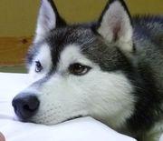 飼ってみたい犬種は何?