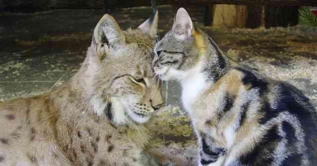 何年経っても仲良し!動物園のヤマネコと三毛猫の仲睦まじい様子に癒される♡  –  grape [グレイプ]