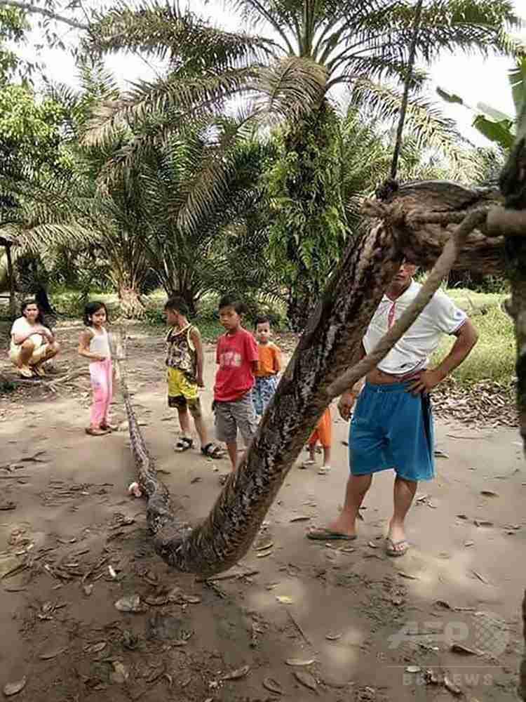 男性襲った巨大ニシキヘビ、住民たちに食べられる インドネシア 写真2枚 国際ニュース:AFPBB News