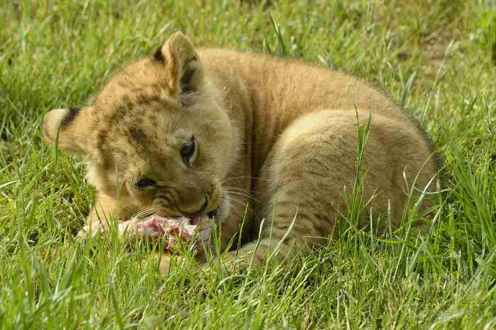パリ郊外で餓死しかけた子ライオン発見、自撮りに利用した男が遺棄 写真1枚 国際ニュース:AFPBB News