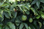 パッションフルーツとは - 育て方図鑑 | みんなの趣味の園芸 NHK出版