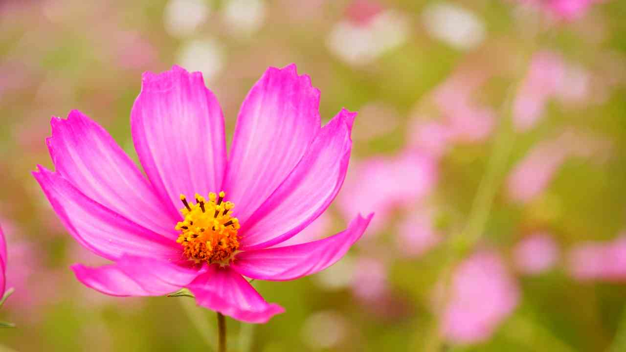 秋桜(コスモス)の画像を貼るトピ
