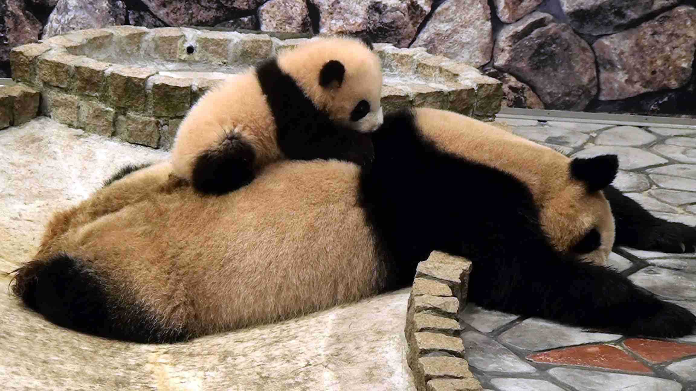 panda baby on her Mom  パンダ 優浜 良浜を登る アドベンチャーワールド - YouTube
