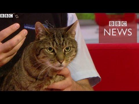 【BBC】 猫は人をしつける 人間にしか使わない鳴き声で - YouTube