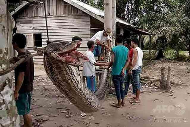 男性を襲ったインドネシアの巨大ニシキヘビ 現地住民に食べられる - ライブドアニュース