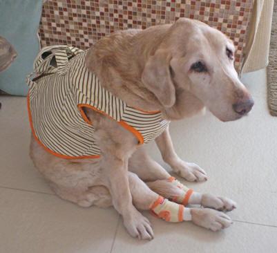 愛犬が老犬(介護)の時、遊び行きますか?