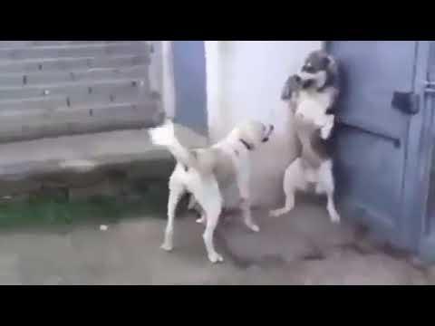 パパ犬が子供を驚かせてしまい、それを見たママ犬が怒る - YouTube