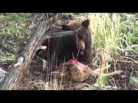 【野生動物】貴重!クマの捕食!生きているシカの背中から・・・『衝撃映像・閲覧注意』/Animal Attack・176 - YouTube