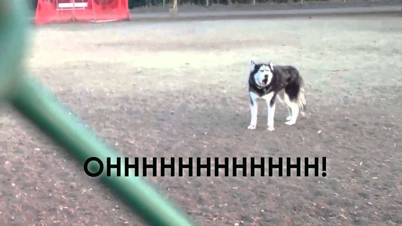 Howling Husky doesn't want to leave dog park - YouTube