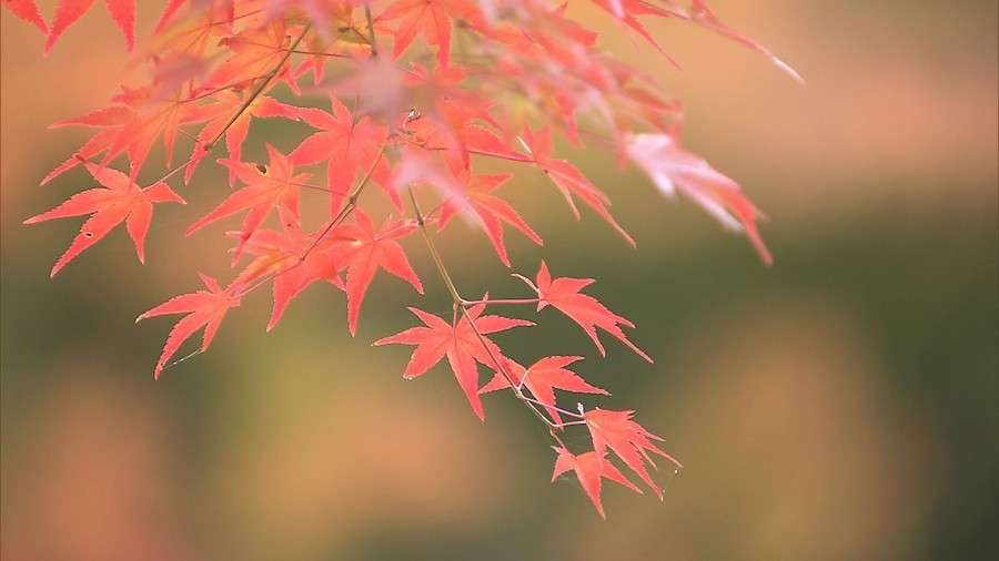 もみじをちぎらないで! 京都のお寺が悲鳴