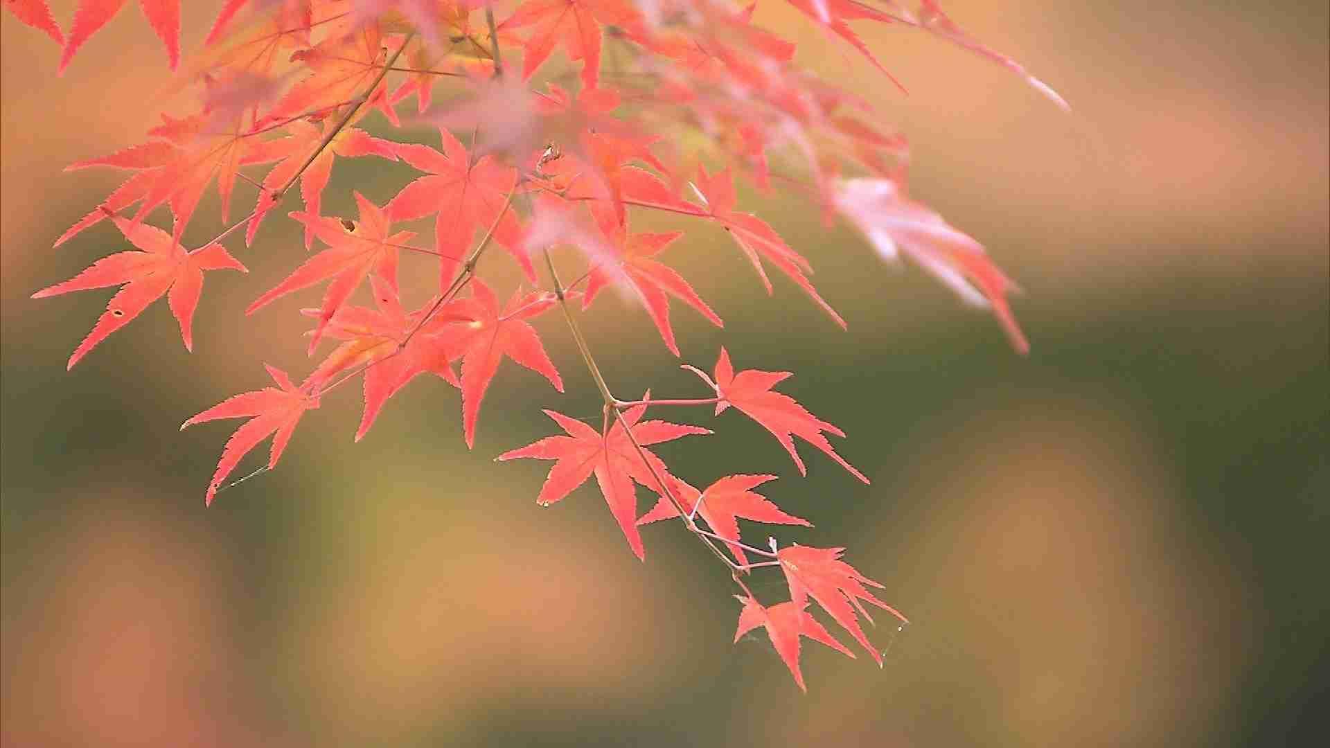 【特集】もみじをちぎらないで! 京都のお寺が悲鳴 (MBSニュース) - Yahoo!ニュース