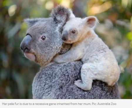 豪動物園で珍しい白いコアラの赤ちゃんが誕生 母親から受け継いだ遺伝子