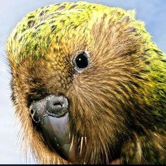飛べない鳥「カカポ」の不思議な生態がなんか可愛い! - NAVER まとめ