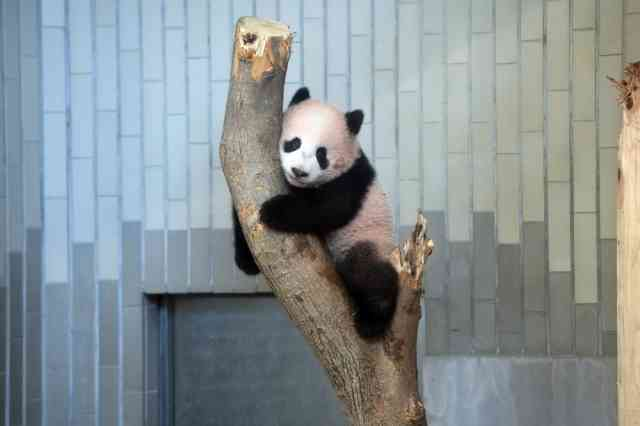 上野動物園のパンダ・シャンシャン、観覧方法詳細決定