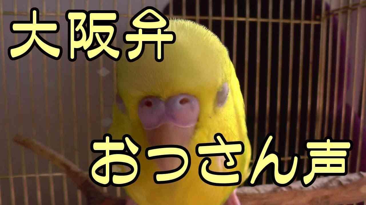 【インコが飼いたくなる動画】声低くて大阪弁しゃべるインコ(suzu編) - YouTube