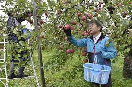 リンゴ園悲鳴「手回らない…」/津軽地方、高齢化や労働力不足深刻、就業条件合致せず (Web東奥) - Yahoo!ニュース