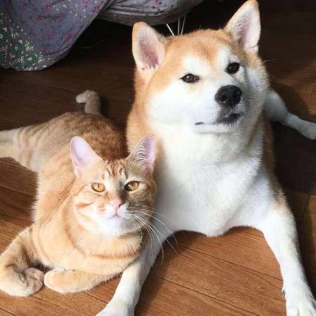 仲良しな柴犬と猫ちゃんの「理想の添い寝」姿がいつまでも見てられるかわいさ
