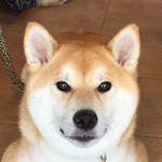 Kazumi-Gakumama (@shibainu.gaku) • Instagram photos and videos
