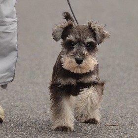 犬の犬種で何が好きですか?
