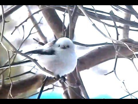 ジュルリ、鳴き声も可愛いシマエナガ - YouTube