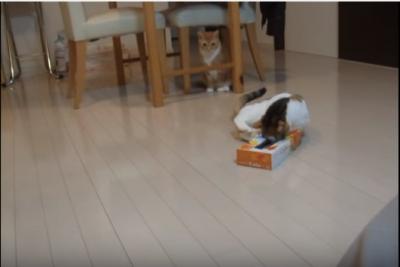 ティッシュ箱が抜けない!三毛猫のハプニング | ペットゴーノート