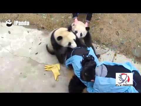 爆笑!なかなか飼育員から離れないパンダたち~ - YouTube