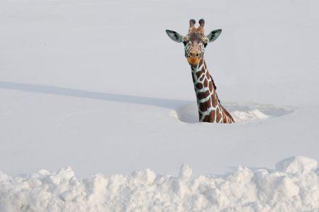 冬毛使用の動物達の画像