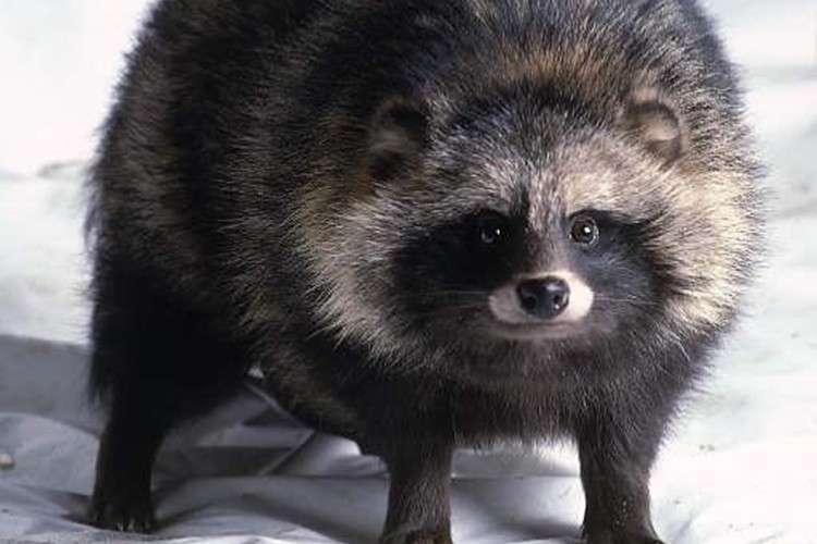 【海外の反応】「タヌキって日本の昔話に伝わる動物だと思ってた!」タヌキに対する海外の反応が面白い! | FUNDO[ファンドゥ]