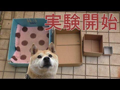 柴犬小春、実験!ハウスが小さくなったらどうする?? - YouTube